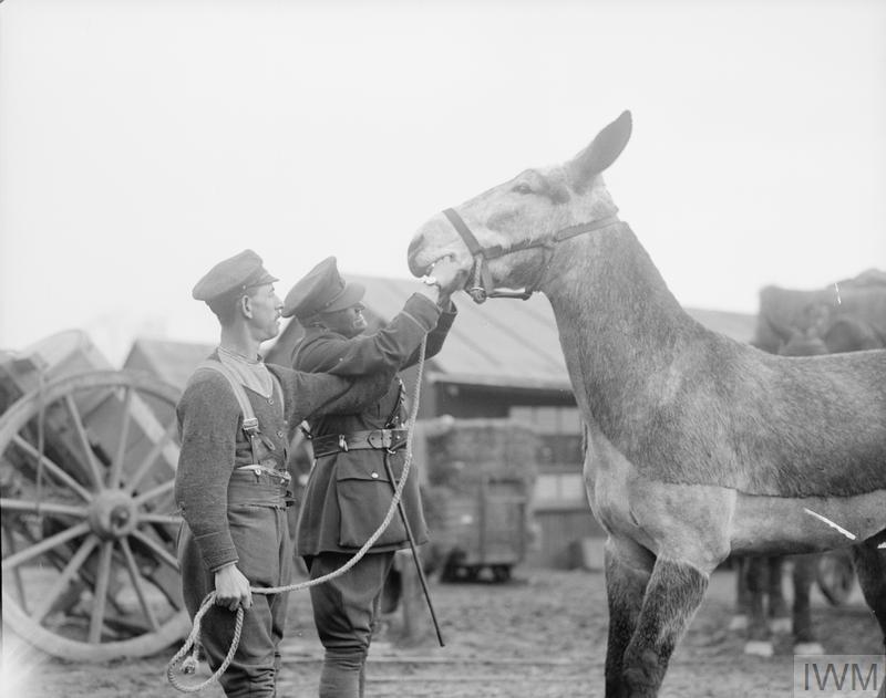 IWM Q 8531 Vet examining mule (15 Feb 1918)
