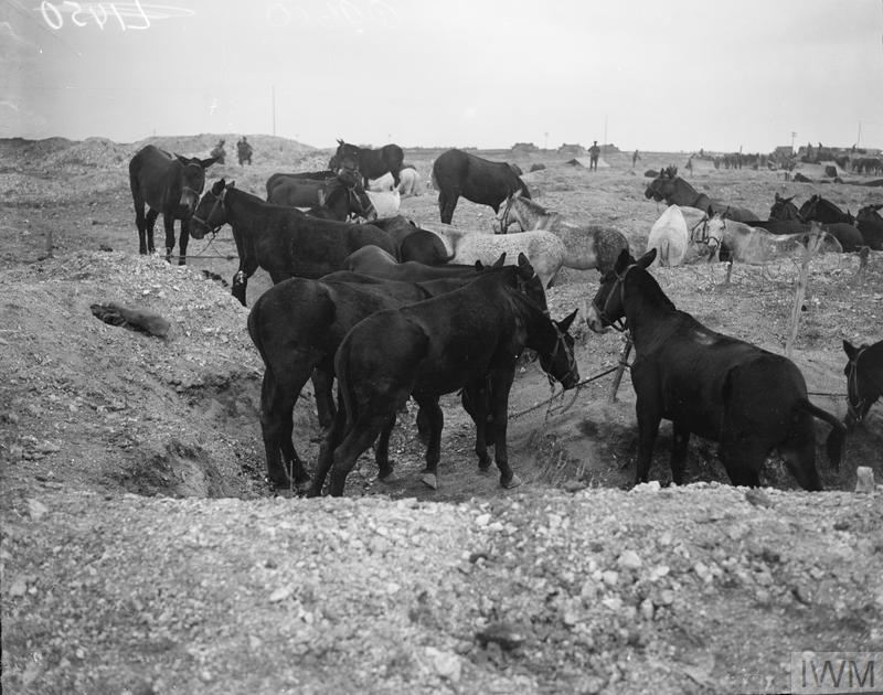IWM (Q 9610) Mules tethered, Bellenglise, 4 October 1918